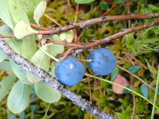 Голубика (пьяная ягода).